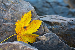 Autumn leaf on the rocks Stock Photography