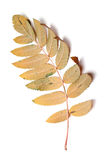 Autumn leaf of rowan isolated on white background Royalty Free Stock Photos