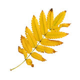 Autumn leaf of a rowan, top surface Royalty Free Stock Photo