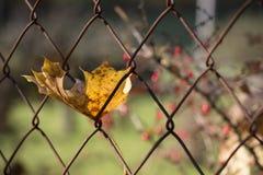 Autumn Leaf Rusty Fence Imagen de archivo