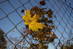 Autumn Leaf Rusty Fence Royalty Free Stock Photography
