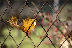 Autumn Leaf Rusty Fence Stock Image
