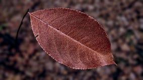 Autumn leaf. Sample autumn leaf detailed blur background royalty free stock images