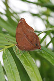 Autumn Leaf-Schmetterling Stockbilder