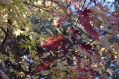 Autumn Leaf si chiude su alla riserva di Chamna, Richland, WA immagini stock libere da diritti