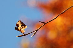 Autumn Leaf. A Solitary Brown Autumn Leaf With Autumnal Colours in the Background Royalty Free Stock Photo
