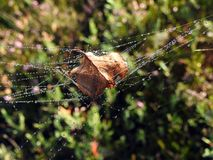 Autumn leaf in spider net with dew, Lithuania Royalty Free Stock Photography