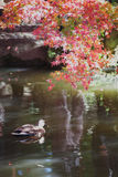 Autumn leaf  and Spot-billed Duck Royalty Free Stock Photos