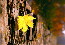 Autumn leaf on the stone wall Stock Photo