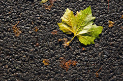 Autumn leaf on street tarmac. Sycamore autumn leaf on street black tarmac Stock Photo