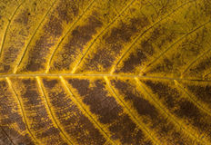 Autumn leaf structure. Autumn fallen leaf vein structure as background royalty free stock photos
