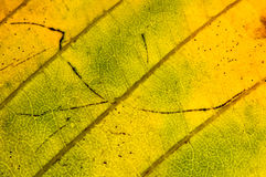Autumn leaf structure Royalty Free Stock Images