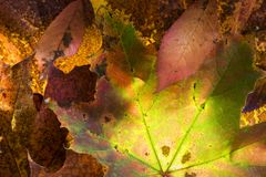 Autumn leaf structure in the Cairngorms of Scotland Royalty Free Stock Images