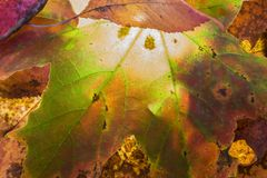 Autumn leaf structure in the Cairngorms of Scotland Royalty Free Stock Photo
