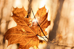 autumn leaf stuck in  forest Royalty Free Stock Photos