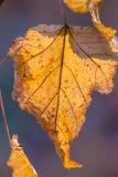 Autumn leaf in the sun. Macro Royalty Free Stock Photos
