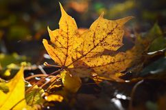 Autumn leaf. Sun is shining through leaf in autumn Royalty Free Stock Photo