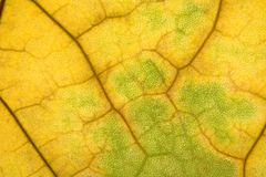 Autumn leaf texture Royalty Free Stock Photo
