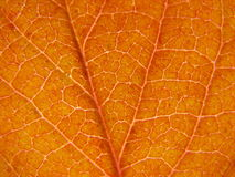 Autumn leaf texture. Detail of a leaf in autumn Royalty Free Stock Photo