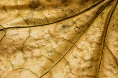 Autumn Leaf Texture Royalty-vrije Stock Fotografie