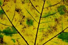 Autumn Leaf Texture Imagenes de archivo