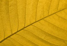 Autumn leaf texture. Close-up of a yellow autumn leaf in back-light Royalty Free Stock Photos
