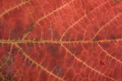Autumn leaf texture. Close up to autumn leaf texture Royalty Free Stock Photos