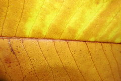 Autumn Leaf Texture Images libres de droits