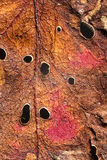 Autumn leaf texture. Close up of textures and colors in autumn leaf Royalty Free Stock Photography