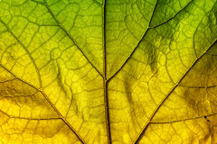 Autumn leaf texture. Green and yellow autumn leaf texture close up Stock Images