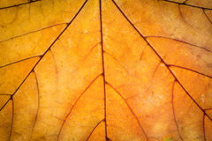 Autumn leaf texture Royalty Free Stock Image