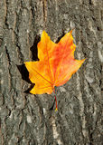 Autumn leaf on tree bark Stock Image