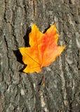 Autumn leaf on tree bark Stock Image