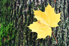 Autumn leaf on a tree. With moss Stock Photo