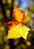 Autumn leaf on a tree in payson arizona. Autumn Leaf on a tree in the fall stock images