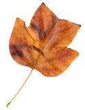 Autumn leaf of a tulip tree, top surface Royalty Free Stock Photo