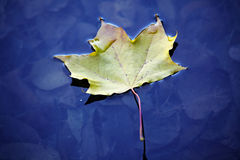 Autumn leaf in water Stock Images