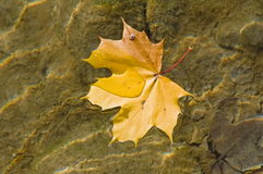 Autumn leaf on water Royalty Free Stock Image