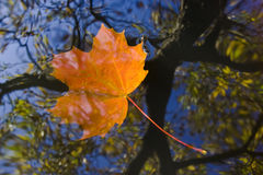 Autumn leaf on the water Stock Photos