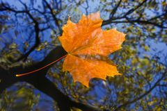 Autumn leaf on the water level Stock Photos