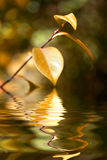 Autumn leaf with water reflex background Stock Photos