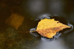 Autumn leaf in the water Stock Images