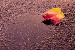 Autumn leaf on the road. Red-yellow leaf in autumn covered with sun on dark road after rain Royalty Free Stock Photo
