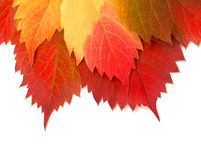 Autumn leaf on white Royalty Free Stock Photography