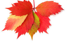 Autumn leaf on white Royalty Free Stock Photos