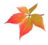 Autumn leaf on white Royalty Free Stock Images