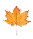 Autumn leaf. On a white background Royalty Free Stock Photos