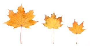 Autumn leaf. On a white background Stock Photos