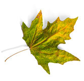 Autumn leaf  on white background Stock Photo
