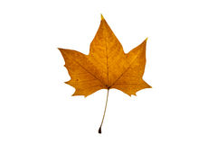 Autumn leaf on white background. Autumn brown yellow leaf on white background Royalty Free Stock Photography